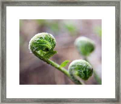 Fiddleheads Framed Print
