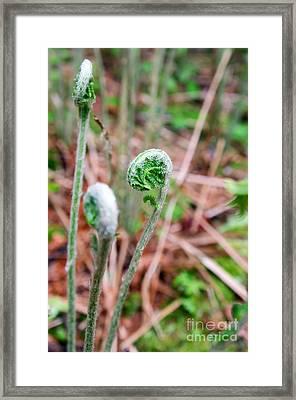 Fiddleheads Framed Print by Jennifer Booher
