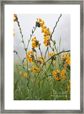 Fiddleneck Flowers Framed Print