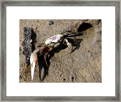 Fiddler Crab Framed Print by Bruce W Krucke