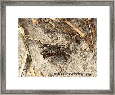 Fiddler Crab Framed Print by Janice Spivey