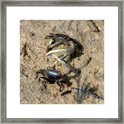 Fiddler Crabs Fighting 1 Framed Print by Bruce W Krucke