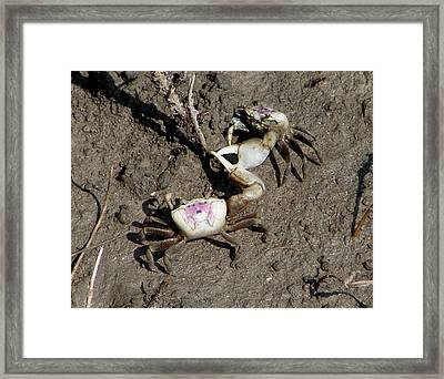 Fiddler Crabs Fighting 2 Framed Print by Bruce W Krucke