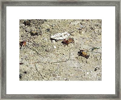 Framed Print featuring the photograph Fiddler Crabs by Terri Mills