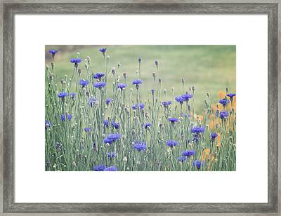 Field Of Bachelor Buttons Framed Print by Kim Hojnacki
