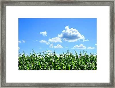Field Of Corn In August Framed Print by Sandra Cunningham