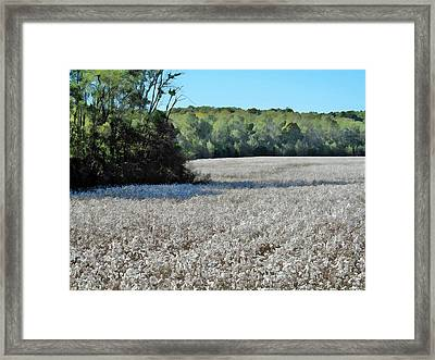 Field Of Cotton Framed Print by Maria Huntley