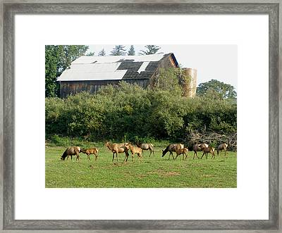 Framed Print featuring the photograph Field Of Elk by Jeanette Oberholtzer