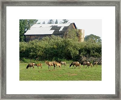 Field Of Elk Framed Print by Jeanette Oberholtzer