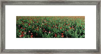 Field Of Flowers, Texas Framed Print