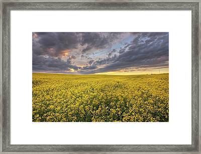 Framed Print featuring the photograph Field Of Gold by Dan Jurak