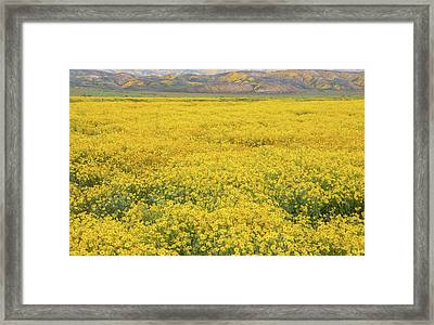 Framed Print featuring the photograph Field Of Goldfields by Marc Crumpler