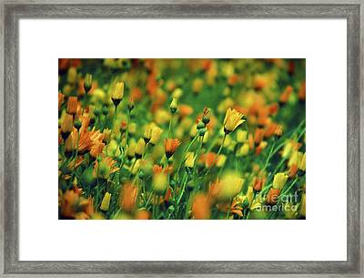 Field Of Orange And Yellow Daisies Framed Print