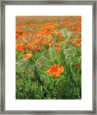Field Of Orange Poppies- Art By Linda Woods Framed Print