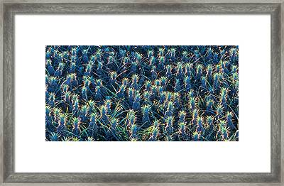 Field Of Pineapples Framed Print