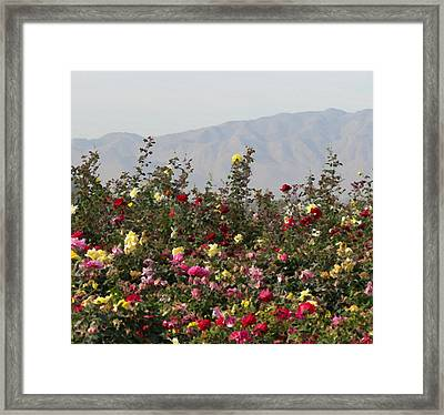 Framed Print featuring the photograph Field Of Roses by Laurel Powell