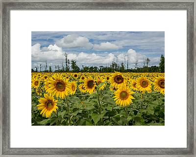 Field Of Sunflowers Framed Print by Dale Kincaid