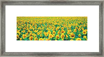 Field Of Sunflowers Framed Print by Panoramic Images