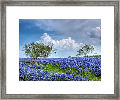 Field Of Texas Bluebonnets Framed Print