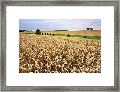 Field Of Wheat Framed Print by Nailia Schwarz