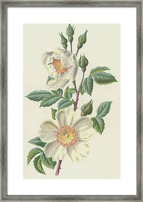 Field Rose Framed Print by Frederick Edward Hulme
