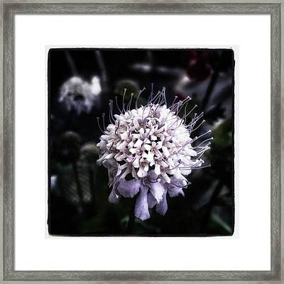 Framed Print featuring the photograph Field Scabious. A Member Of The by Mr Photojimsf