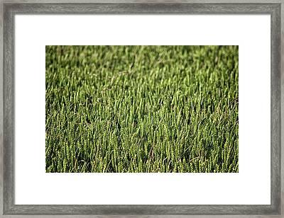 Fields Of Corn Framed Print