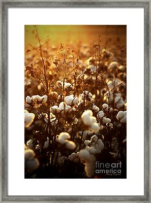 Fields Of Cotton Framed Print by Karry Degruise