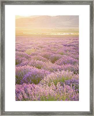 Fields Of Lavender Framed Print
