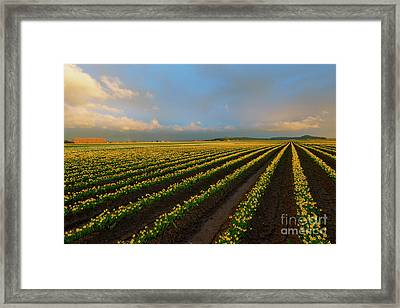 Fields Of Yellow Framed Print
