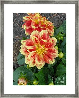 Fiery Dahlia Framed Print by Sonya Chalmers