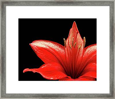 Framed Print featuring the photograph Fiery Red by Judy Vincent