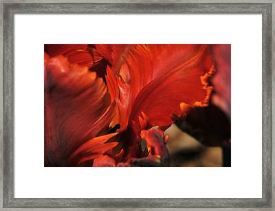 Fiery Tulip Framed Print by Jennifer Englehardt