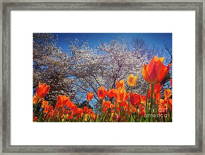 Fiery Tulips Framed Print by Inge Johnsson