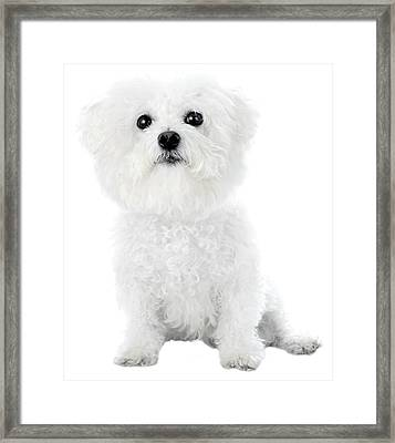 Fifi The Bichon Frise In White On White Framed Print