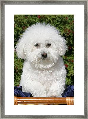Fifi The Bichon  Framed Print
