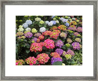 Fifty Shades Of Hydrangea Framed Print