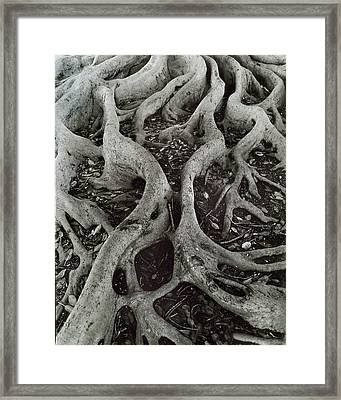 Fig Tree Roots Framed Print by John Gilroy