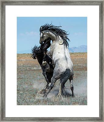 Framed Print featuring the photograph Fighting Black And Gray Stallions by Mary Hone