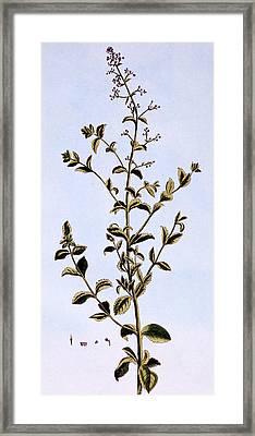 Figwort, Or Scrofulaira Framed Print by Pierre-Joseph Buchoz