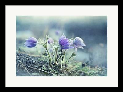 Common Pasque Flower Framed Prints