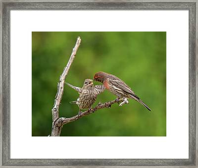 Finch Feeding Time I Framed Print