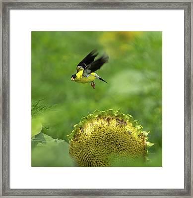 Finch Flight Framed Print