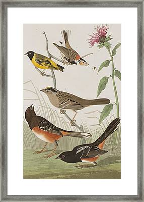 Finches Framed Print by John James Audubon