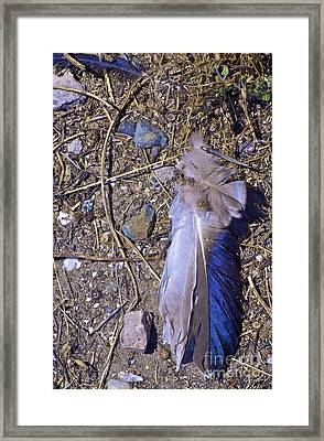 Finding Feathers In Your Path Framed Print