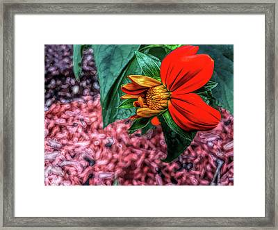 Fine Wine Cafe Mexican Sunflower In Mid Bloom Framed Print