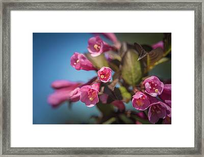Framed Print featuring the photograph Fine Wine Weigela by William Lee