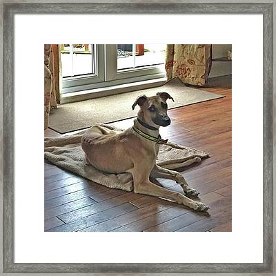 Finly - Ava The Saluki's New Companion Framed Print