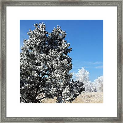 Fir Full Of Ice Framed Print
