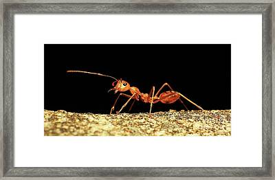 Fire Ant Framed Print